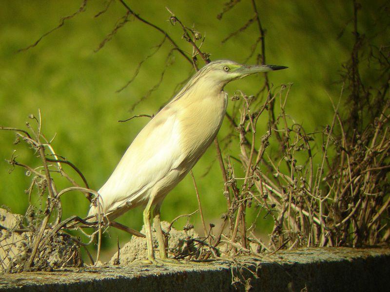 http://www.vogelfotos.nl/ralreiger03.jpg